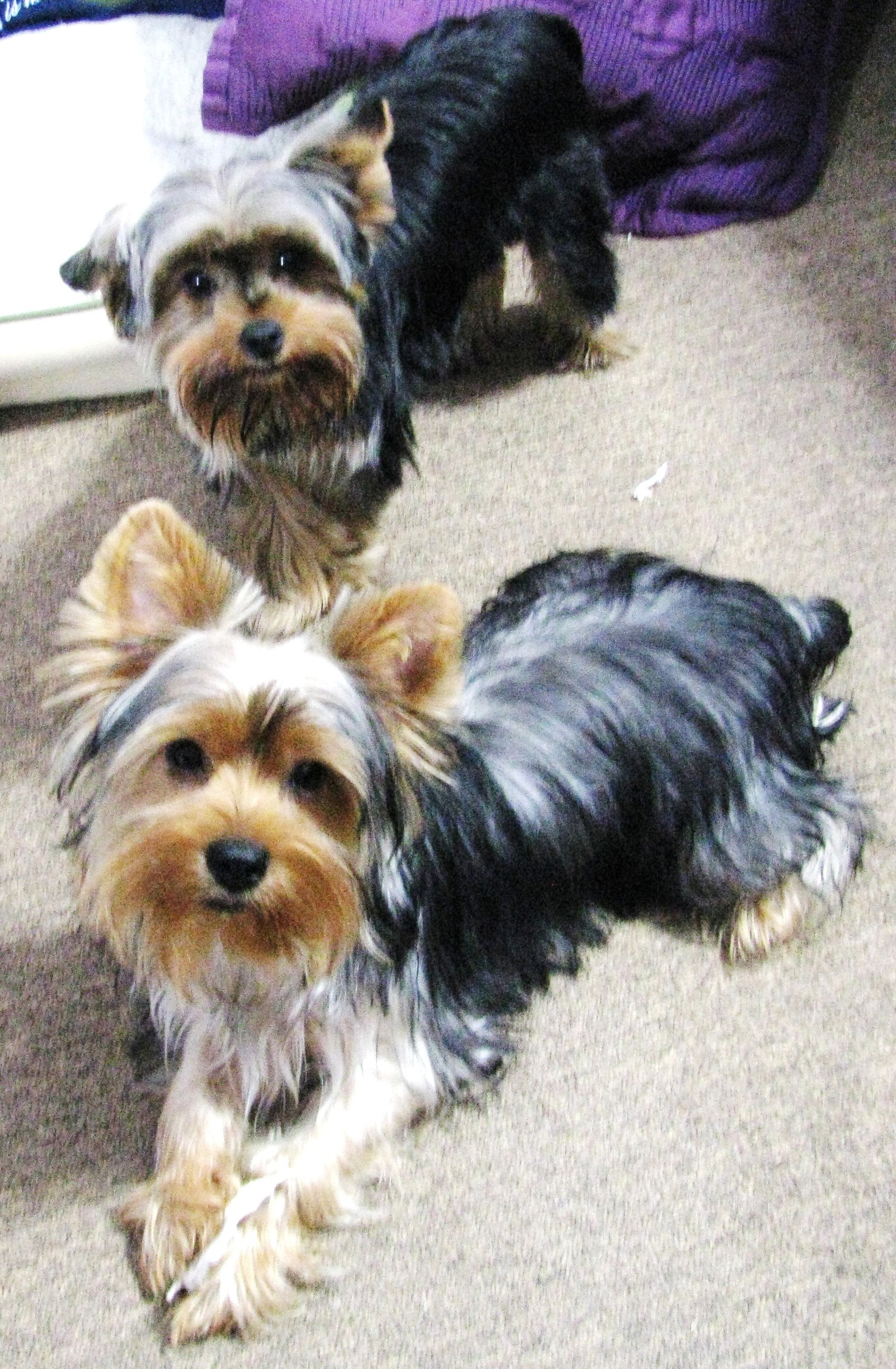 living with 12 yorkies a great site. Black Bedroom Furniture Sets. Home Design Ideas